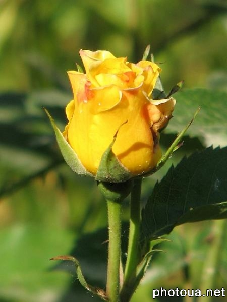 v. Stadnyky, UA Yellow rose ...