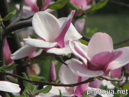 Ботанічний сад магнолія