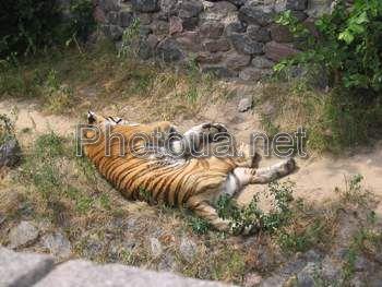 Київський зоопарк сплячий тигр